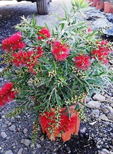 Karminroter Zylinderputze Busch 100 cm - Callistemon Masotti - Kübelpflanze