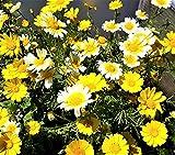 Glebionis coronaria Crown Daisy Formerly Chrysanthemum coronarium/Ismelia coronaria. Edibleannual with Attractive Flowers. 100 Fresh Seeds