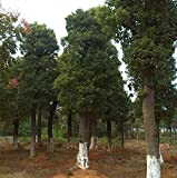 Futaba® Albero di canfora Lauraceae Albero sempreverde 10 Semi