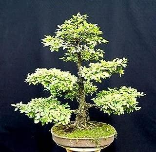 Chinese Elm Bonsai 25 Seed/Seeds - Ulmus parvifolia