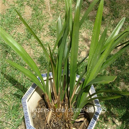Graines 50pcs Haute Qualité Dracaena Rare Seeds graines de bambou d'arbres Livraison gratuite