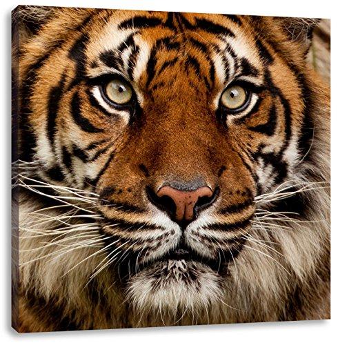 Aufmerksamer Tiger, Format: 40x40 auf Leinwand, XXL riesige Bilder fertig gerahmt mit Keilrahmen, Kunstdruck auf Wandbild mit Rahmen, günstiger als Gemälde oder Ölbild, kein Poster oder Plakat