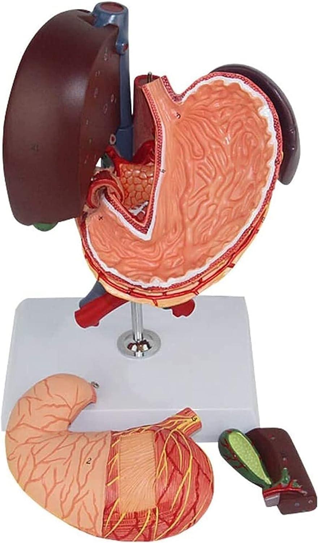 XHLLX Hepatopancreic Duodenal Sección Modelo Duodenal Anatómico Modelo Humano Instituciones internas Anatómicas