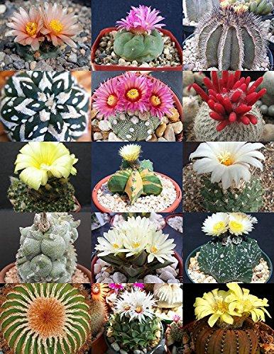 RARE CACTUS MIX pianta rara cactus esotico fiore del deserto semi succulenta 20 semi