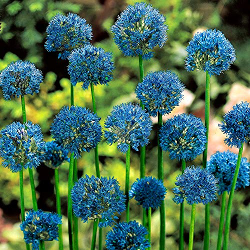 25x Allium caeruleum | 25er Set Blauer Zierlauch | Zierlauch Zwiebel winterhart | Allium Zwiebeln Ø 4-5 cm