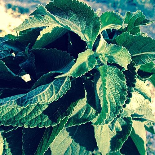 Vana certifié biologique Saint-Basile Tulsi Graines (~ 200): Heirloom non-OGM Paquet