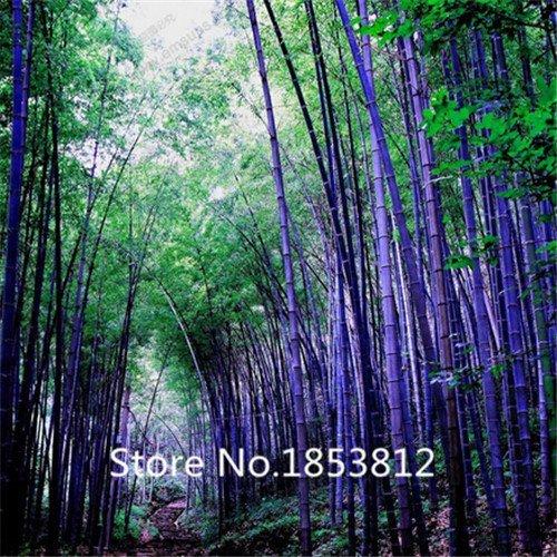 Rare violet Timor Bamboo Seeds Bambusa semences de bambou noir planté cour Yi 100 PCS - paquet
