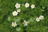 4er-Set im Gratis-Pflanzkorb - Klärpflanze! - Ranunculus aquatilis - Wasserhahnenfuß, weiß- Wasserpflanzen Wolff