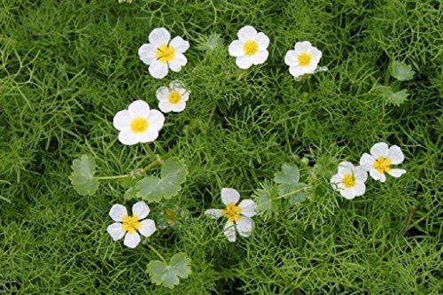 Wasserpflanzen Wolff - Klärpflanze! - Ranunculus aquatilis - Wasserhahnenfuß, weiß