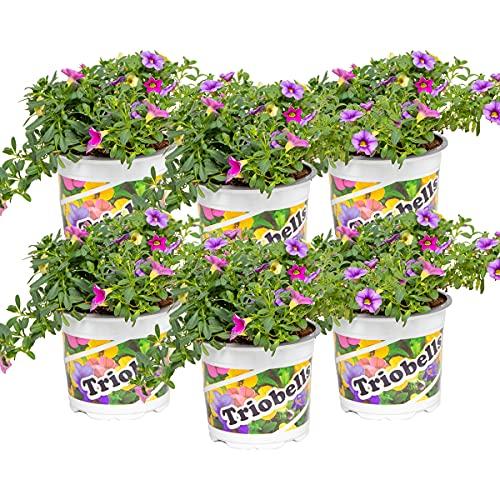 Pflanzenmischung | Zauberglöckchen - Calibrachoa pro 6 Stück in verschiedenen Farben - Freilandpflanze im Anzuchttopf ⌀10,5 cm - ↕20 cm