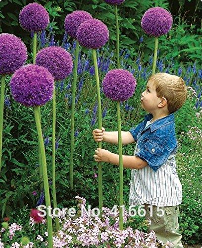 Semillas Floración de cebolla Allium Gladiador Semillas Flores exóticas de la cebolla púrpura gigante Allium Giganteum grande Pompon Jardín Bonsai