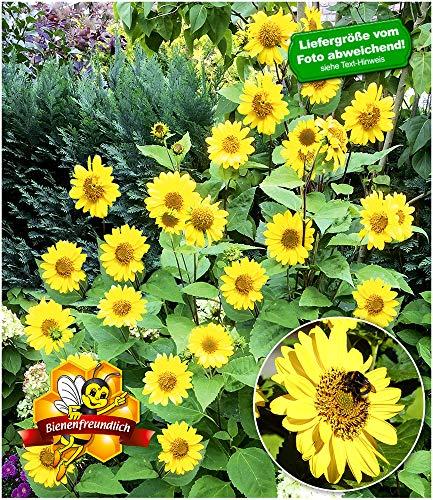 BALDUR-Garten Winterharte Sonnenblume SunCatcher®,1 Pflanze Helianthus, Stauden-Sonnenblume
