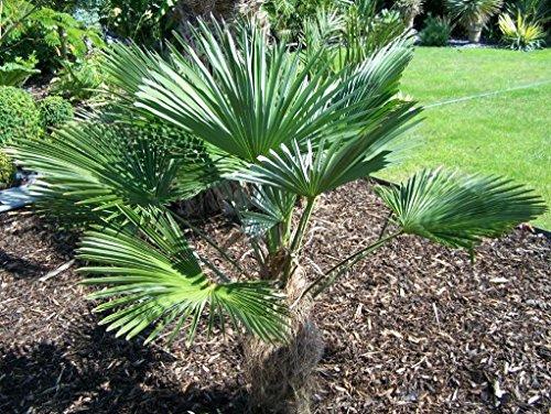Wagners -Winterharte Hanfpalme- -trachycarpus wagnerianus- 5 Samen ***Frosthart***