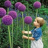 Beautytalk Jardin-Géant Allium Giganteum Fleur Ail Allium Ornemental Ail Fleur vivace vivace Parfumée Graines d'échalote pour balcon/jardin