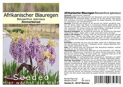 Seedeo® Afrikanischer Blauregen (Bolusanthus speciosus) Zimmer-Bonsai 20 Samen