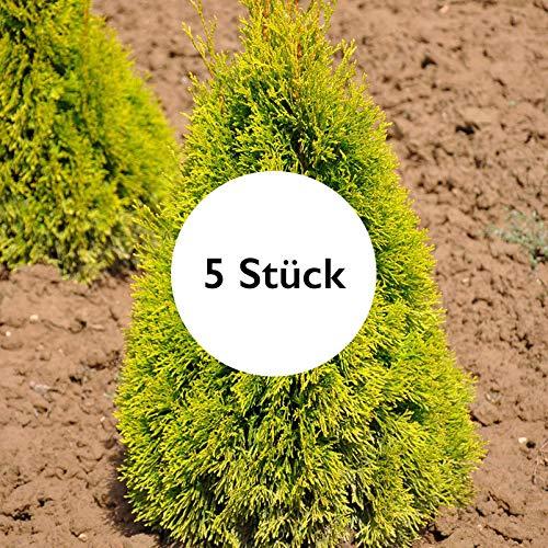 Pflanzen Kölle 5er-Set Heckenkonifere Thuja OCC. Golden Smaragd®, Höhe 40-60 cm, im 3 Liter Topf