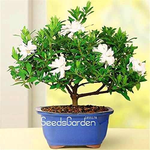 Promotion! 100 Pcs Gardenia Seeds (Cape Jasmine) -DIY jardin en pot Bonsai, étonnante odeur et de belles fleurs pour manger, # W1OC