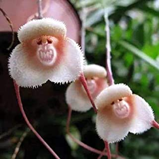 ypypiaol 20 Unids Adorable Rara Cara De Mono Orquídea Semillas Jardín Al Aire Libre Planta Flor Bonsai Decoración Semillas de orquídeas cara de mono