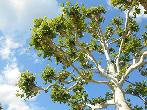 Amerikanischer Platane. Baum 100 + Samen aus Indiana. 2018