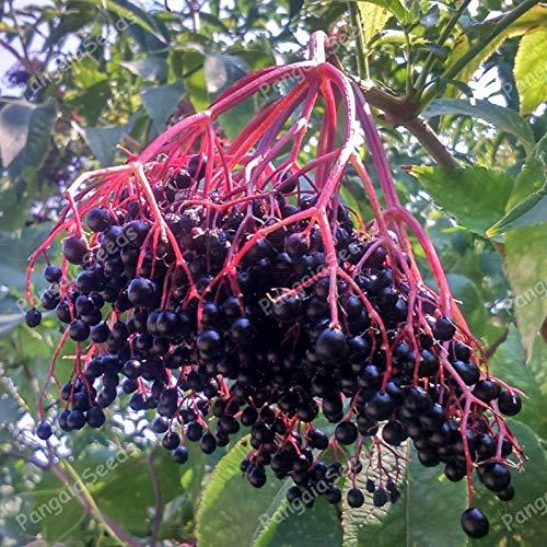 Portal Cool Sambucus Nigra 25 Samen Holunder Schwarzer Holunder Mediterranen Pflanzen Bush gesund