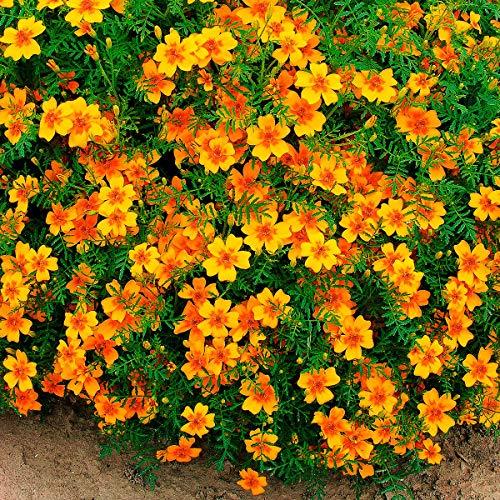 Soteer Garten - Kleinblumige Tagetes Samen Ringelblume gemischte Kräuter Gartenstauden Blumensamen winterhart mehrjährig für Beete, Töpfe und Kästen