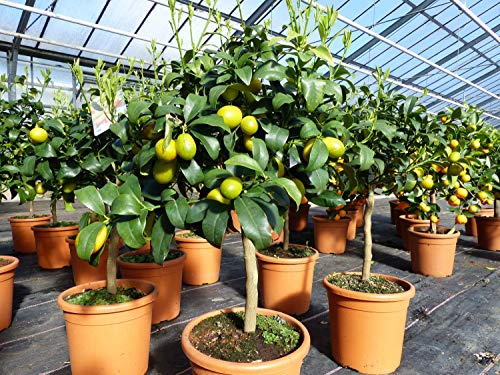Kumquat Zwergorange Fortunella margarita Citrus Zitrus 60-80 cm Zitruspflanze Baum Pflanze