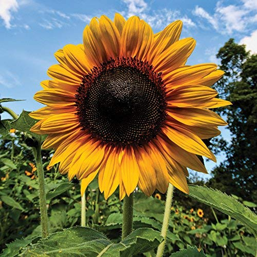 Sunflower Seeds Colourful Yellow Flowers Easy Grow Plants for Garden,...