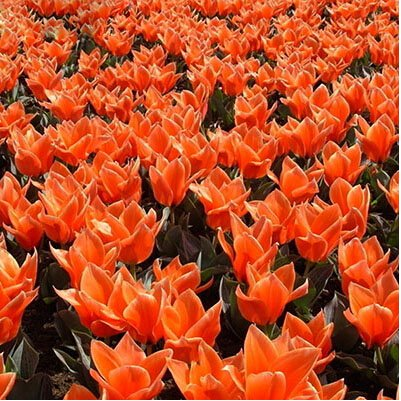 Bord blanc pourpre exotiques Tulipe Graines de fleurs vivaces extérieur jardin Bonsai Plantes en pot Livraison gratuite 120 pcs / sac 24