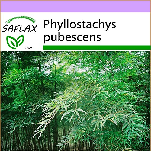 SAFLAX - Bambú moso - 20 semillas - Phyllostachys pubescens