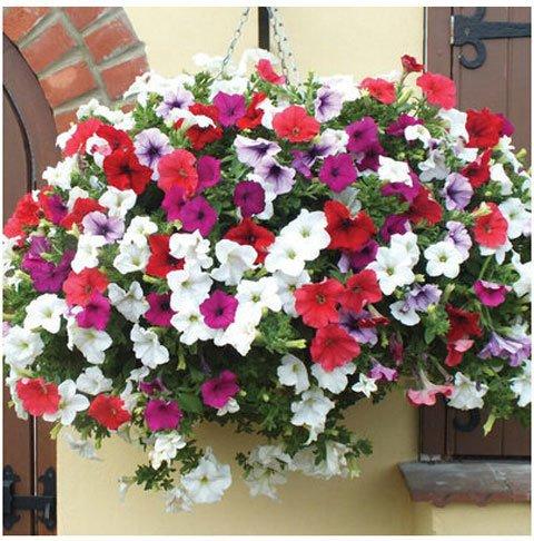 Graines de fleurs graines de pétunia pendaison plante balcon -100 graines rouges