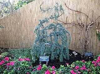 Best atlas blue spruce Reviews