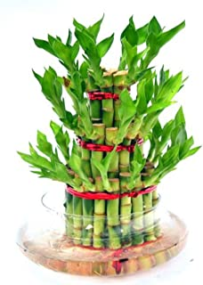 Abana Homes Bamboo Plant Indoor with Pot - Three Layer Live Bamboo Plant in Glass Bowl - Great Home/Office Decor