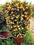 Pinkdose Planta de cítricos Bonsai Mandarín flores naranjas Fruta comestible Bonsai Tree plantas Comida saludable Huerto en casa Fácil de cultivar 40 piezas en venta: 1