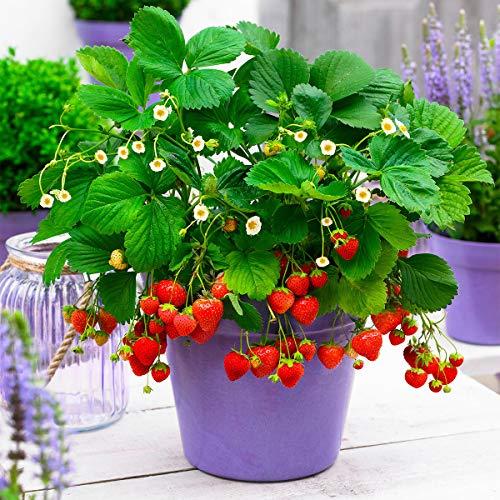 Qulista Samenhaus - Erdbeerpflanze Hängeerdbeere aromatische mittelgroße Früchte, Obstsamen Bodendecker Duft-Erdbeere Saatgut winterhart mehrjährig, für Hängeampeln und Blumenkästen