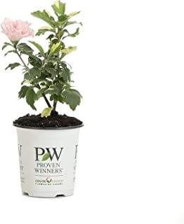 Best hardy hibiscus plant for sale Reviews