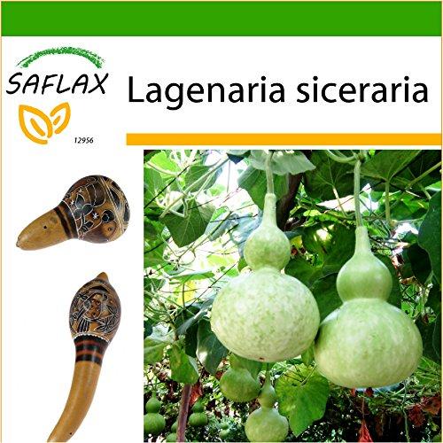 SAFLAX - Calabaza de peregrino - 15 semillas - Con sustrato estéril para cultivo - Lagenaria siceraria