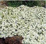 Gartensamen SummerRio- 50 Seifenkraut Blütenteppich Saponaria Ziergras Blumen Saatgut winterhart...