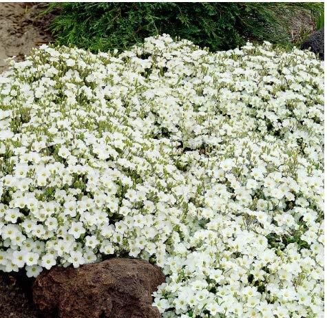 Gartensamen SummerRio- 50 Seifenkraut Blütenteppich Saponaria Ziergras Blumen Saatgut winterhart mehrjährig Pflanzen Blumen bienenfreundliche für Garten/Steingärten