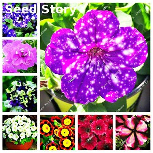 2016 nouvelle Promotion spéciale Berserk Balcon Pot Rare rouge blanc Petunia Graines de fleurs plantes à fleurs 50 particules / lot