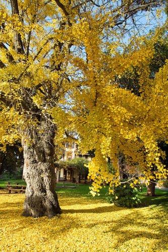 Ginkgo Biloba rara floración de árboles bonsai china amarilla de semillas de plantas exóticas 5 semillas