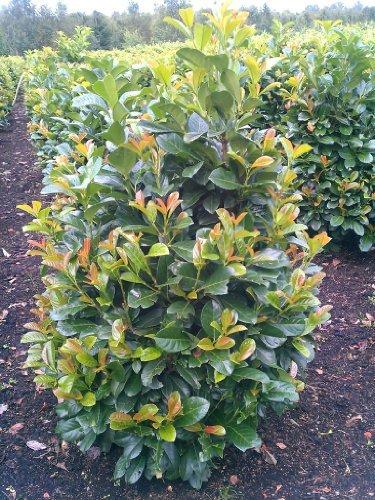 immergrüner Kirschlorbeer Prunus laurocerasus Etna -R- 80-100 cm hoch und 80 cm breit Solitär im 12 Liter Pflanzcontainer