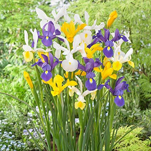 25x Iris hollandica - Mix'Dutch Garden'...