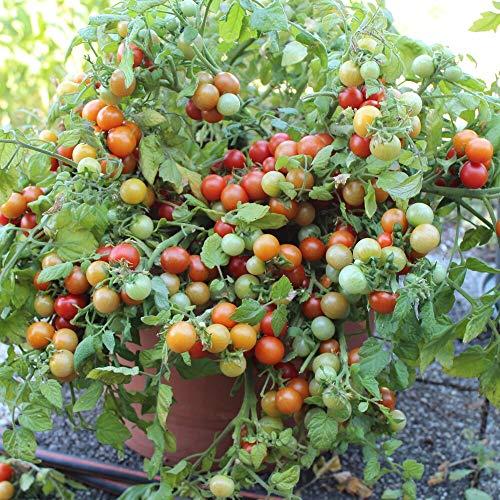 Bajaja Tomatensamen für ca. 10 Pflanzen - pflegeleichte Sorte, Massenertrag
