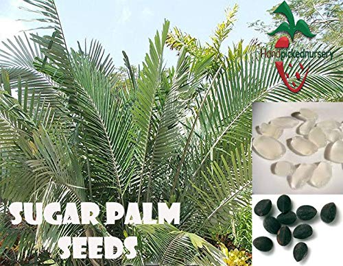 PLAT FIRM GRAINES DE GERMINATION: 25 Sugar Palm Samen (Arenga engleri) von main gepflückt Nursery