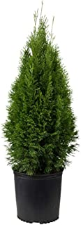 small live evergreen trees
