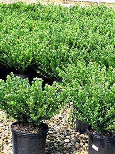 Bodendecker Buchbaum Ersatz - Ilex crenata Stokes - 20-30cm im 0,5Ltr. Topf (10)