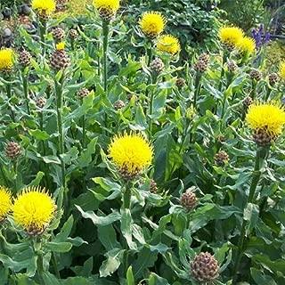 Outsidepride Cornflower Macrocephala - 500 Seeds