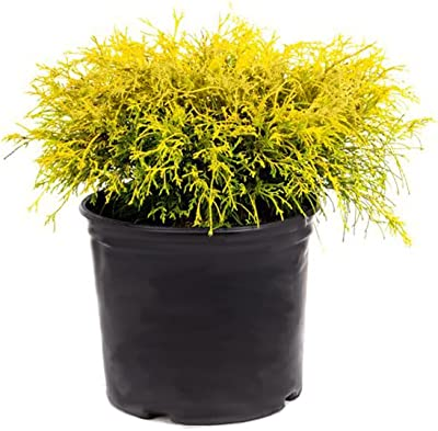AMERICAN PLANT EXCHANGE Lemon Thread False Japanese Cypress Live, 3 Gallon, 1Ft Plant Height