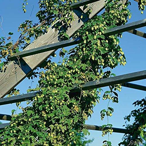 Wilder Hopfen - Humulus lupulus - Winterharte Kletterpflanze - Containerpflanze - Top Qualität von Garten Schlüter