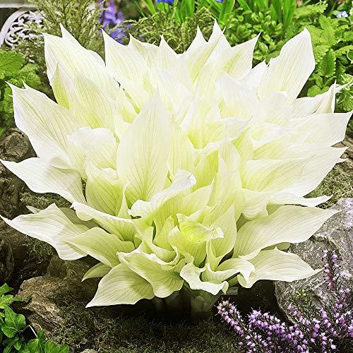 Funkien pflanze Gartenpflanzen winterhart Herzblattlilie 1x Rhizome weiße Hosta White Feather